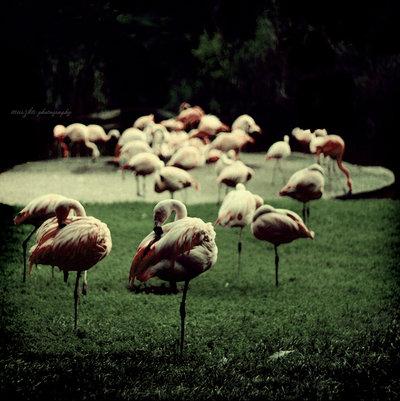 Flamingos_by_muszka